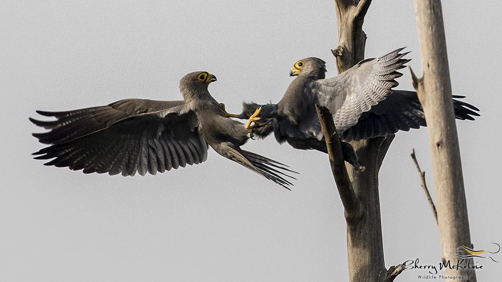 Grey Kestrel by Sherry Mckelvie